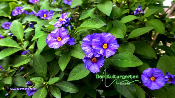 Der Kulturgarten wild&frei 02.Blau-Blumen-Pracht