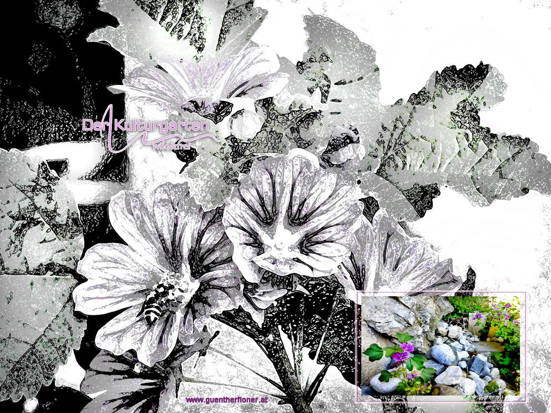 Der Kulturgarten - wild&frei - Malvenblüten leuchten violett