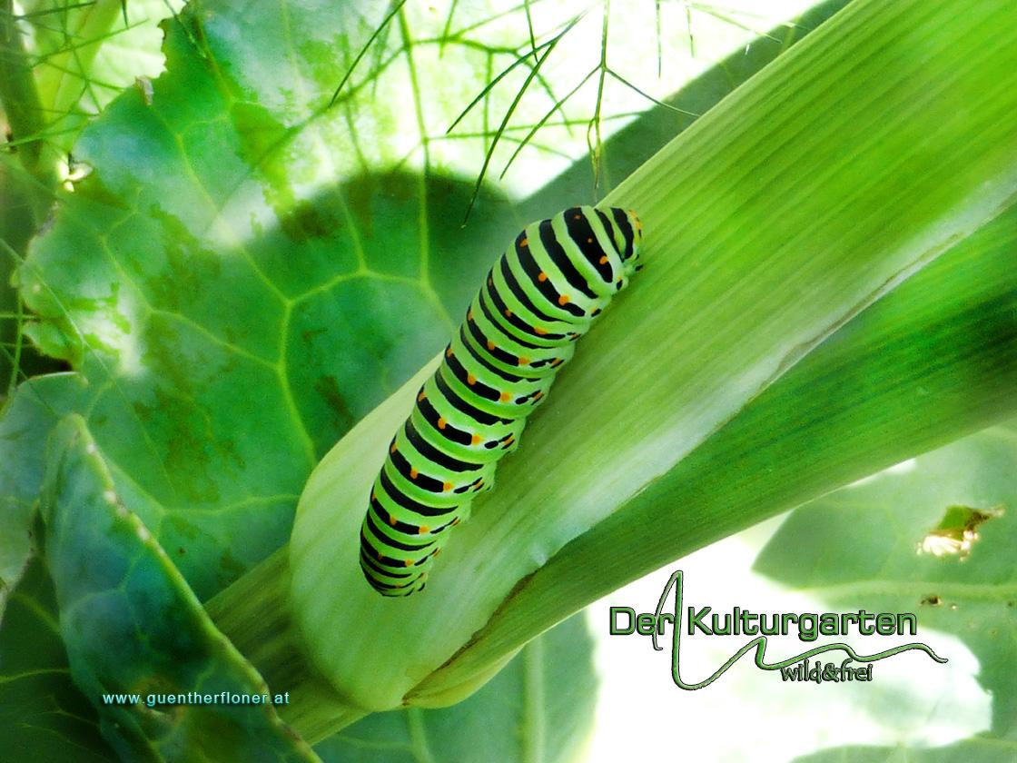 Der Kulturgarten - wild und frei - Ein Schwalbenschwanzbaby