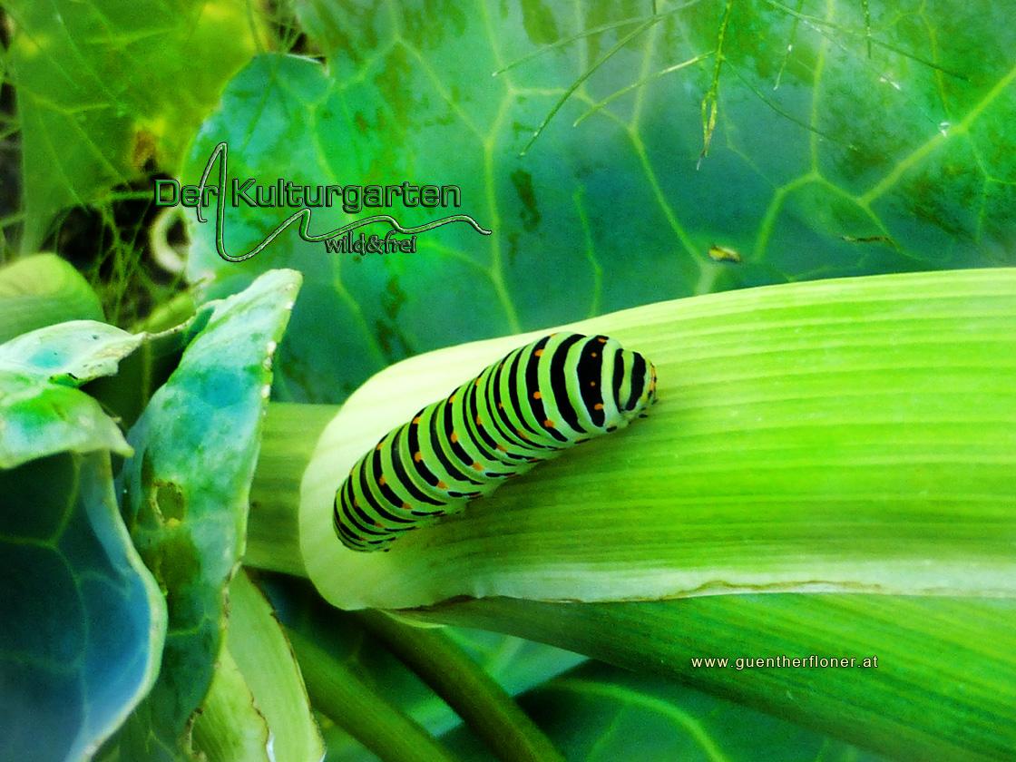 Der Kulturgarten - wild und frei - Ein Schwalbenschwanz-Kind