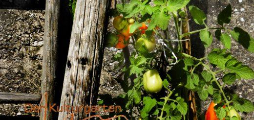 Der Kulturgarten - wild und frei - Grüne und rote Tomaten und die Leiter