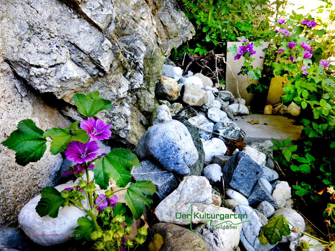Der Kulturgarten - wild&frei - Malven blühen zwischen Steinen