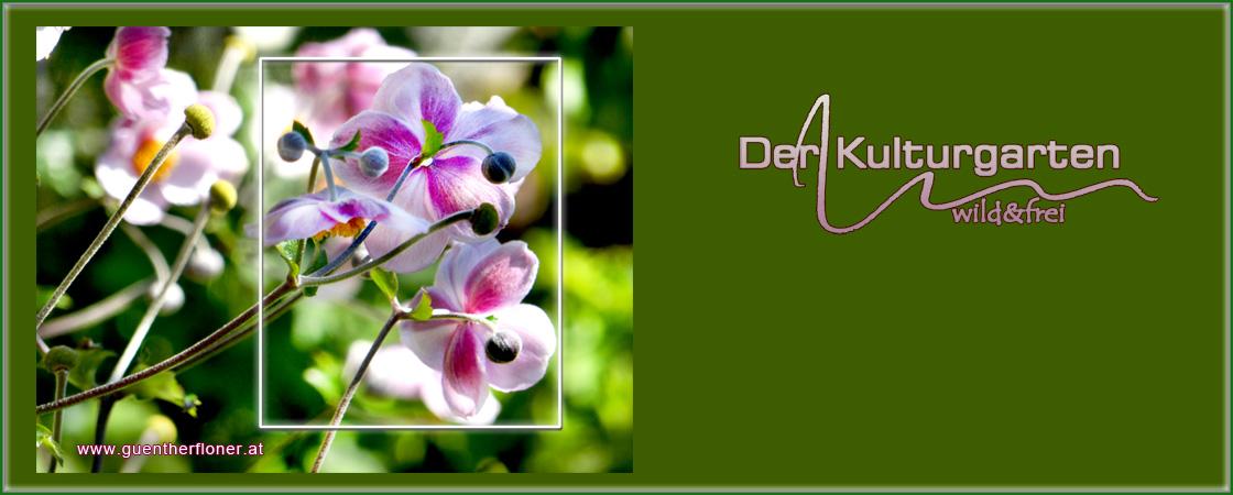 Der Kulturgarten - wild und frei - pictureline 04 Herbstanemone