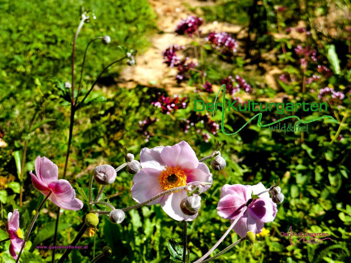 Der Kulturgarten - wild und frei - Rosa Herbstanemonen vor Dost