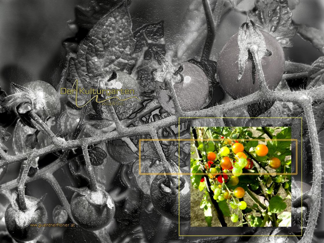 Der Kulturgarten - wild und frei - Wir Tomaten