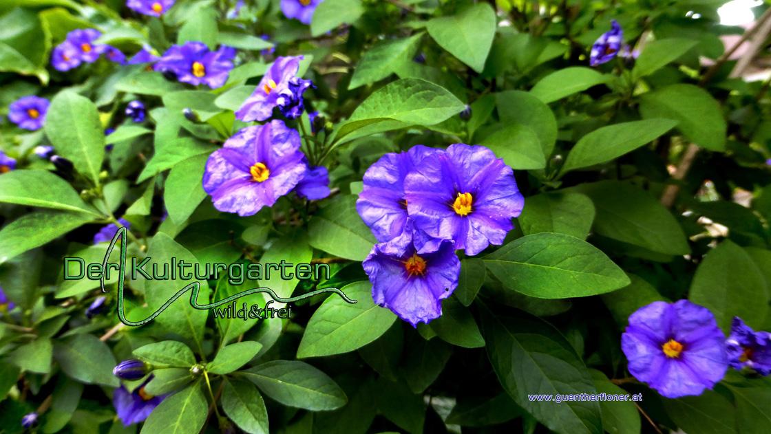 Der Kulturgarten - wild und frei - Blaublumenpracht