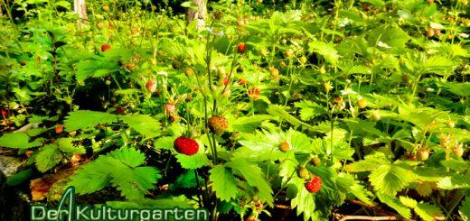 Der Kulturgarten - wild und frei - Die Walderdbeerwiese